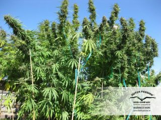 hollands hope Hanfpflanze als feminisierte Hanfsamen kaufen zum outdoor grow
